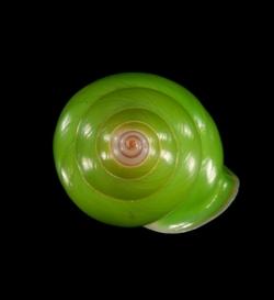 Manus Green Tree Snail_Papustyla pulcherrima