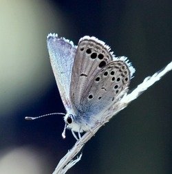 Odd-spot Blue_Turanana taygetica