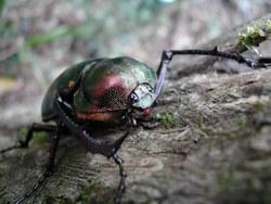 Yanbaru Long-armed Scarab Beetle_Cheirotonus jambar