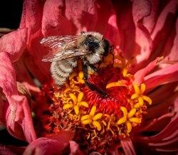 Yellow Bumblebee_Bombus fervidus