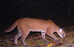 African Golden Cat_Caracal aurata