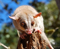 Bare-tailed Woolly Opossum_Caluromys philander