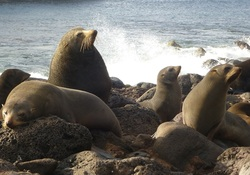 Guadalupe Fur Seal_Arctocephalus townsendi