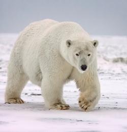 Polar Bear_Ursus maritimus