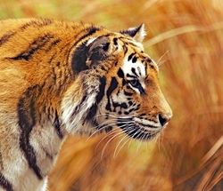 Tiger_Panthera tigris