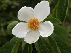 Franklin Tree_Franklinia alatamaha