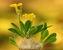 Kimondromondro_Pachypodium brevicaule