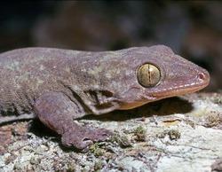 Oceania Gecko_Gehyra oceanica