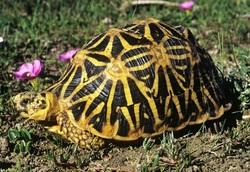 Geometric Tortoise_Psammobates geometricus