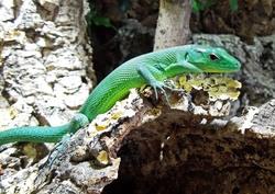 Green Keel-bellied Lizard_Gastropholis prasina