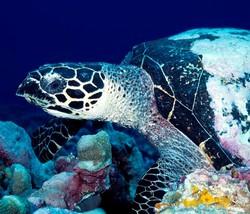 Loggerhead Turtle_Caretta caretta
