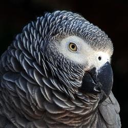 Grey Parrot_Psittacus erithacus
