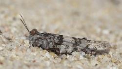 Sphingonotus nodulosus