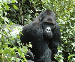 Eastern Gorilla_Gorilla beringei