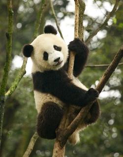 Giant Panda_Ailuropoda melanoleuca