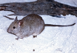 Greater Stick-nest Rat_Leporillus conditor