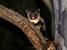 Petaurus australis