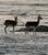 Tibetan Antelope_Pantholops hodgsonii