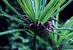 Cyanea kuhihewa, flowering stem. Kaua'i, Limahuli Valley, 17.vi.1997, D. Lorence 8010 (PTBG)