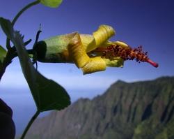 Hibiscadelphus woodii