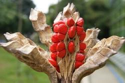 Magnolia jardinensis
