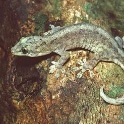 Lepidodactylus listeri