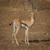 Eudorcas tilonura_Heuglin's Gazelle
