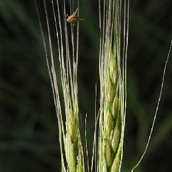 Aegilops sharonensis