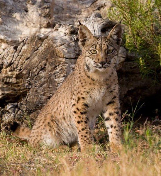 Iberian Lynx (Lynx pardinus). Photo © Iberian Lynx Ex-situ Conservation Programme / A. Rivas