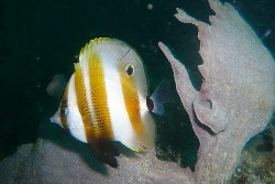 Butterflyfish. Photo Credit - Will Turner