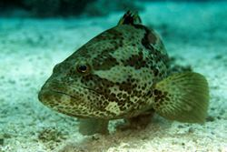 Epinephelus coioides. Photo credit: Friedhelm Krupp