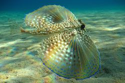 Flying Gurnard. Photo credit - Beckmannjan at the German language Wikipedia