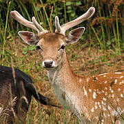 Fallow Deer (Dama dama) Photo © Lawrence Lew via Flickr