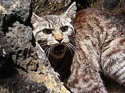 Feral cats have been the cause of several bird extinctions (photo: Julio Montoya/Conservación de Islas)