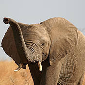 African Elephant (Loxodonta africana). Photo: Alicia Wirz