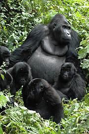 Grauer's Gorilla (Gorilla beringei graueri). Photo: Intu Boedhihartono