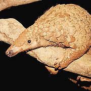 Sunda Pangolin (Manis javanica). Photo: Dan Challender, Carnivore and Pangolin Conservation Programme, Viet Nam