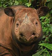 Sumatran Rhinoceros (Dicerorhinus sumatrensis). Photo: International Rhino Foundation (IRF) - Bill Konstant