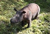 Sumatran Rhino (Dicerorhinus sumatrensis). Photo: Suzanne Chong LEAP