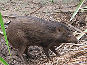 Pygmy Hog female near nest. Photo: Goutam Naryan