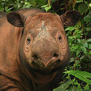 Sumatran Rhinoceros (Dicerorhinus sumatrensis). Photo: International Rhino Foundation (IRF) - Bill Konstant