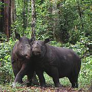 Sumatran Rhinoceros (Dicerorhinus sumatrensis). Photo: Yayasan Badak Indonesia (YABI) - Dedi Candra