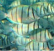 Convict surgeonfish. Photo: Jerker Tamelander IUCN