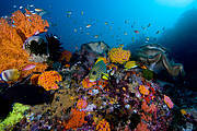 Colourful coral reef, Raja Ampat Islands, Indonesia. Photo: IUCN Photo Library/Jason Suwandy