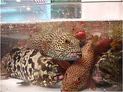 Live groupers on display for sale in a Hong Kong market. Photo: Matthew Craig