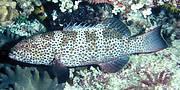 Square-tailed Coral Grouper (Plectropomus areolatus). Photo: Jack Randall