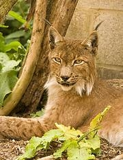 Iberian Lynx. Photo: GuestyGrrl/Flickr