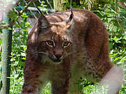 Iberian Lynx. Photo: Joachim S. Müller/Flickr