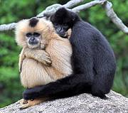 White-cheeked gibbons (Nomascus leucogenys). Photo: Benjamin Radzun/flickr