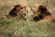 Lions in Serengeti National Park, Tanzania. Photo: IUCN Photo Library © Sue Mainka
